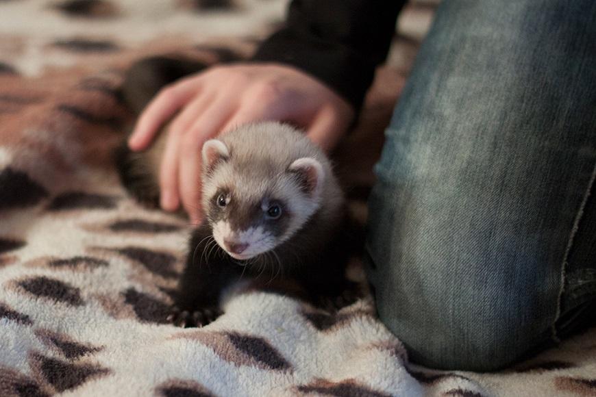 Домашние экзотические животные: фретка