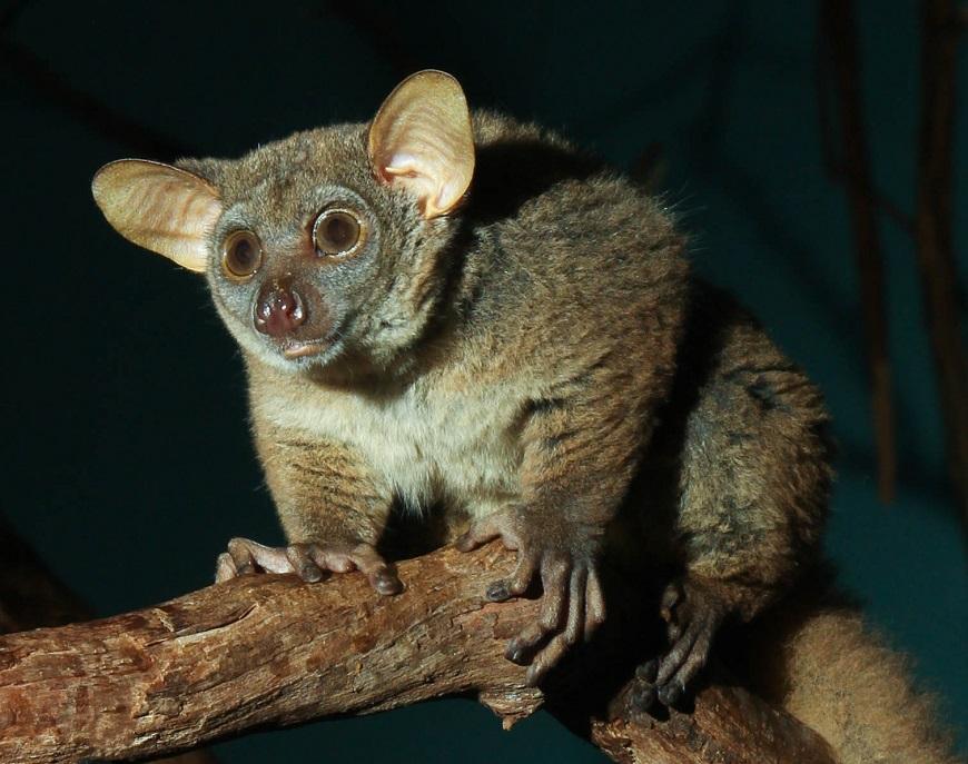 Фото домашних экзотических животных: галаго рис. 2