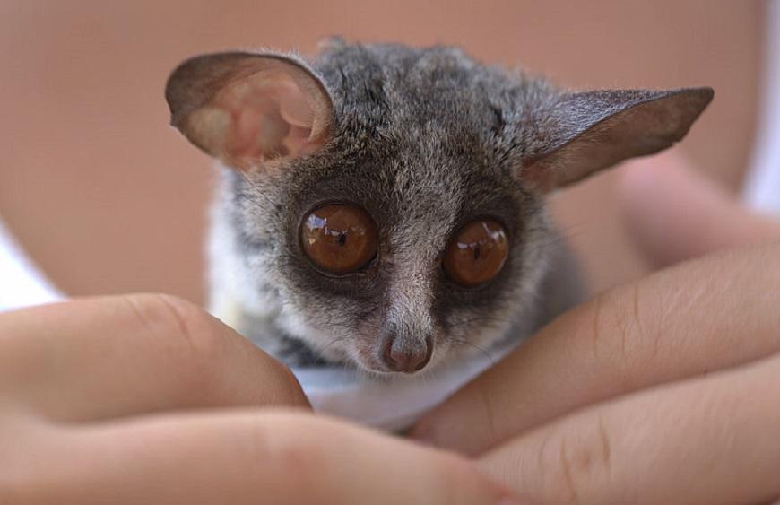 Фото домашних экзотических животных: галаго рис. 3