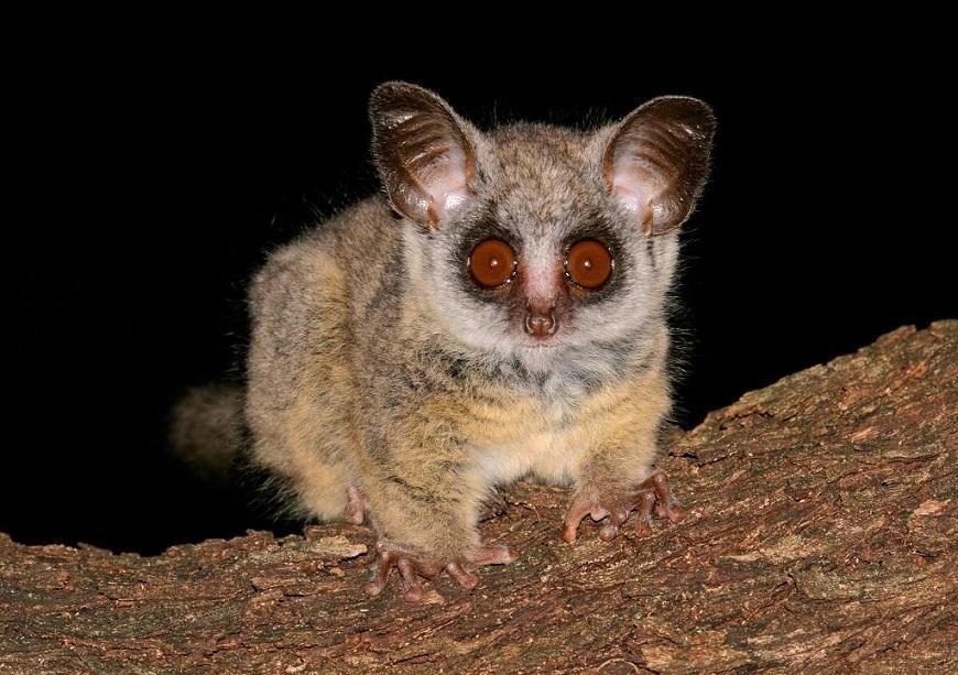 Фото домашних экзотических животных: галаго рис. 1