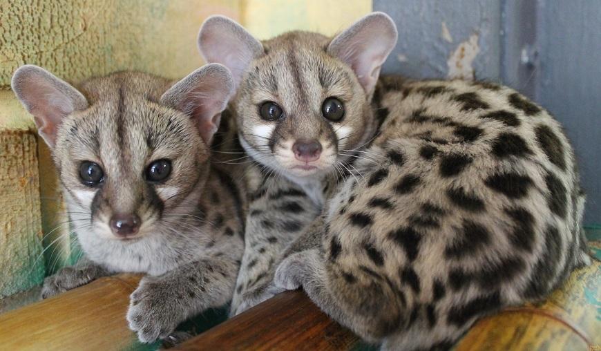 Фото домашних экзотических животных: генетта рис. 2