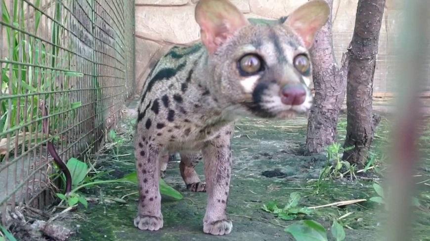 Фото домашних экзотических животных: генетта рис. 3