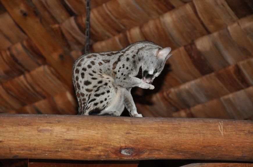 Фото домашних экзотических животных: генетта рис. 4