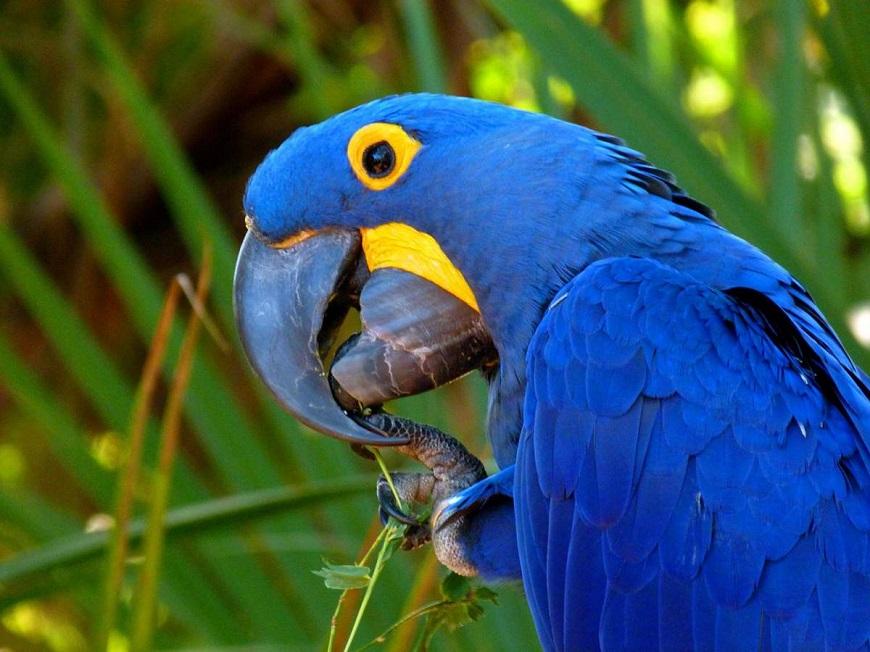 Гиацинтовый ара - красивая экзотическая птица