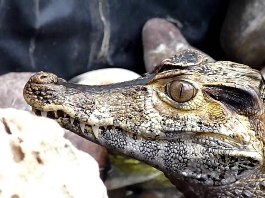 Домашние экзотические животные: гладколобый кайман Шнайдера рис.2