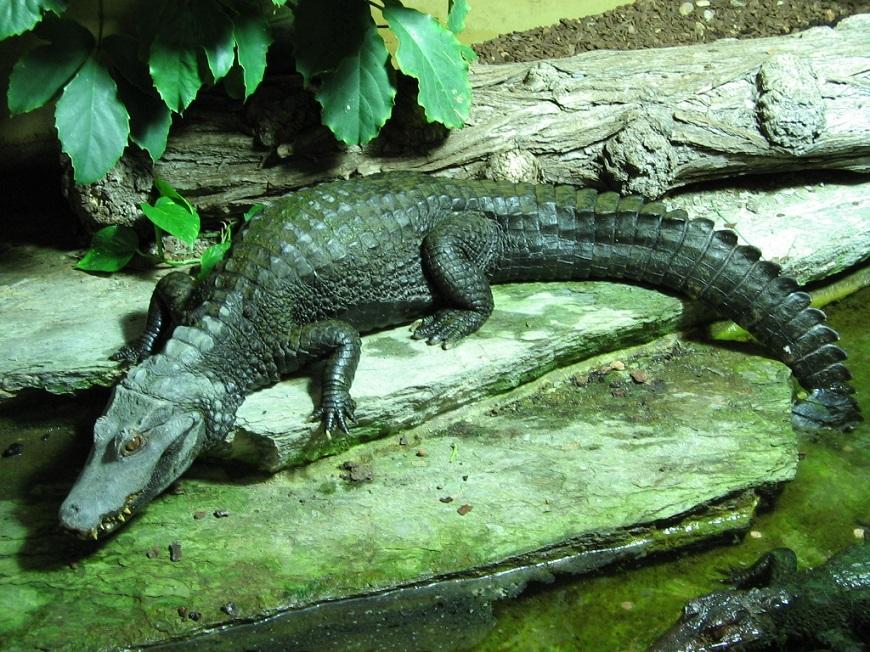 Домашние экзотические животные: гладколобый кайман Шнайдера рис.3