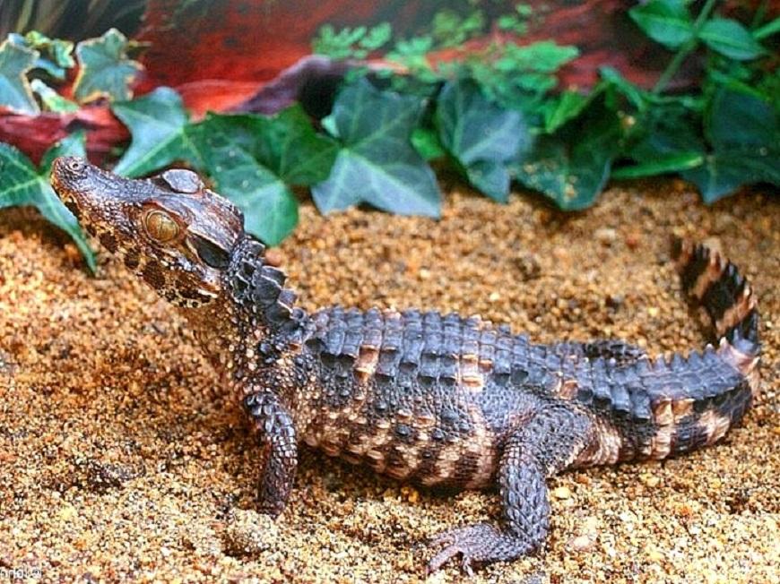 Домашние экзотические животные: гладколобый кайман Шнайдера рис.1