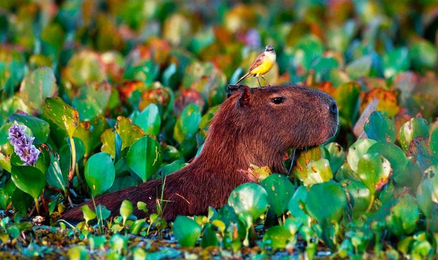 Домашнее экзотическое животное капибара