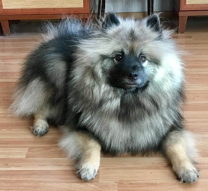 Кеесхонд: всё о породе собаки+фото