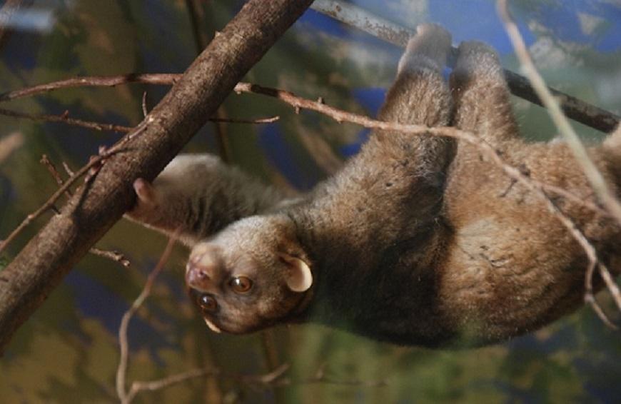 Фото экзотических домашних животных: кинкажу