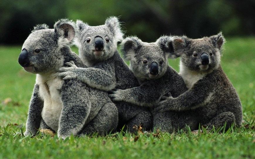 Экзотическое животное коала