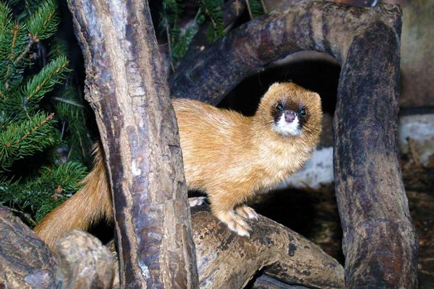 Домашнее экзотическое животное: колонок
