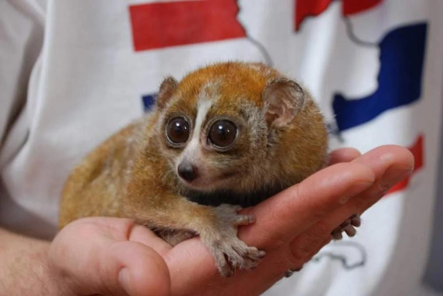 Домашние экзотические животные: лори