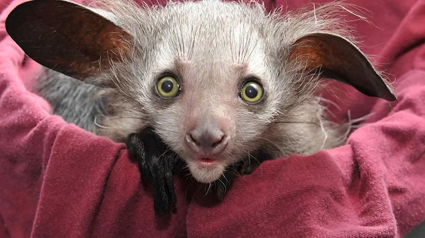 Экзотические животные: мадагаскарская руконожка