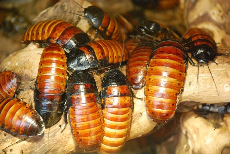 Домашние экзотические животные: мадагаскарский шипящий таракан