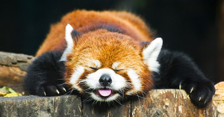 Экзотическое домашнее животное: малая красная панда