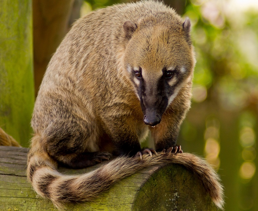 Экзотические домашние животные: носуха или коати