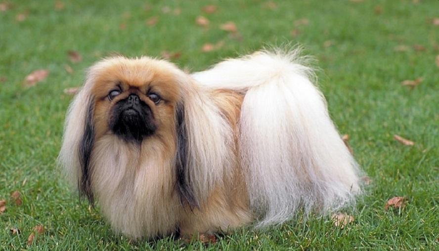 Пекинес, фото собаки, уход и описание породы+цена