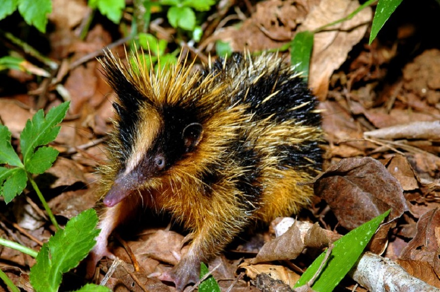 Экзотическое домашнее животное: полосатый тенрек
