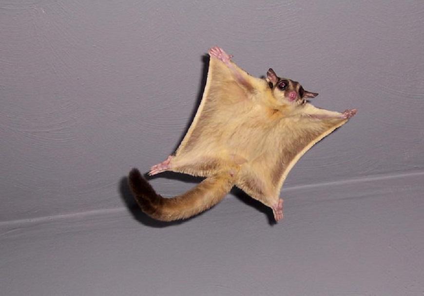 Экзотические домашние животные: сахарная летающая белка