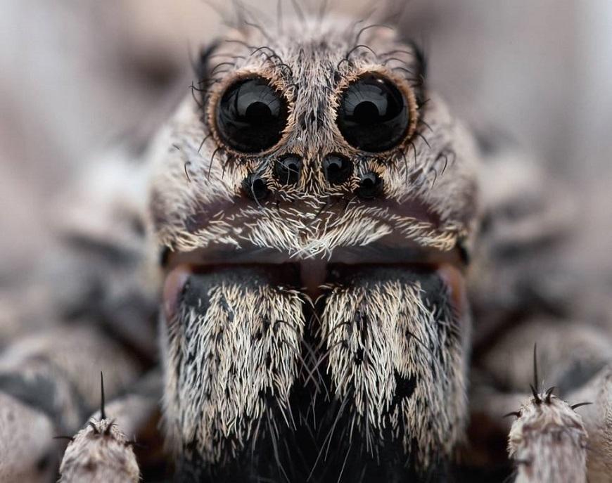 Экзотические домашние животные: тарантул