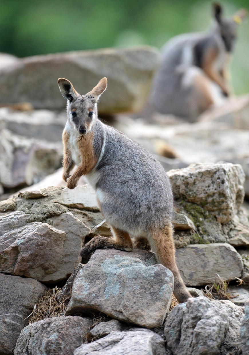 Фото домашних экзотических животных: валлаби рис. 2
