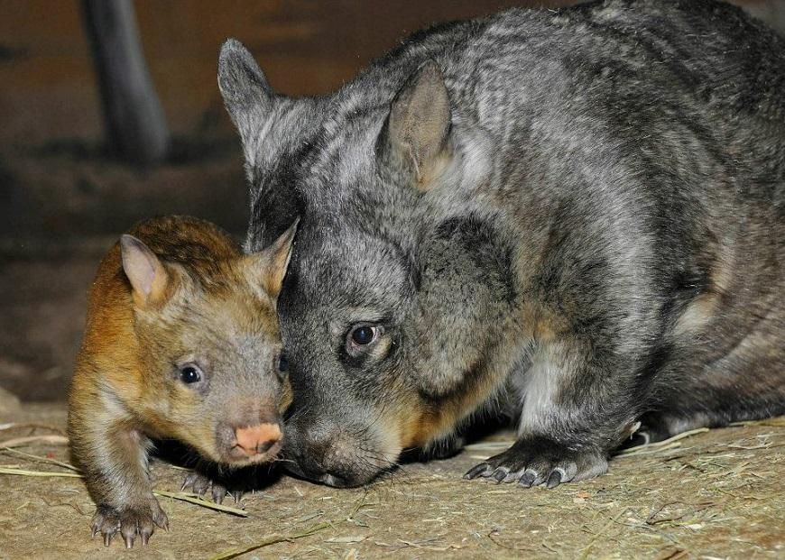 Фото домашних экзотических животных: вомбат рис. 4