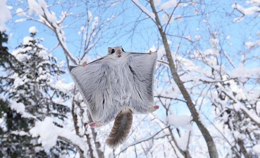 Домашние экзотические животные: японская летяга