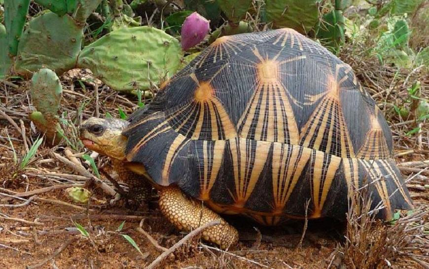 Домашние экзотические животные: звёздчатая черепаха