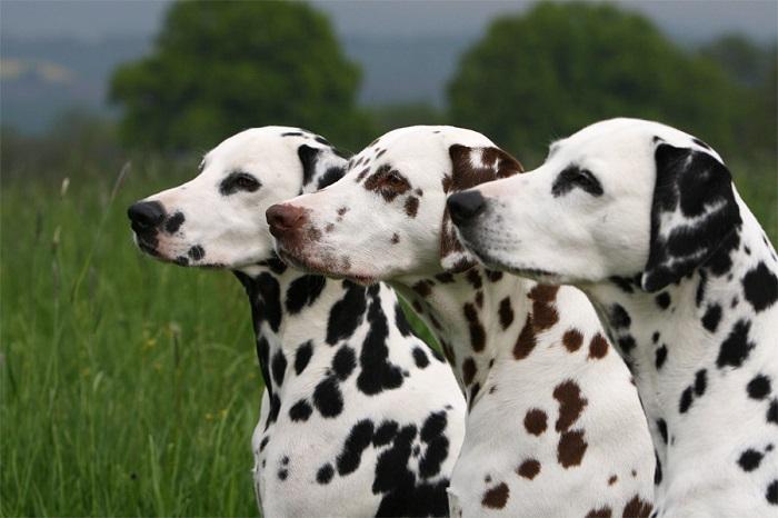 Самые красивые собаки в мире: далматин