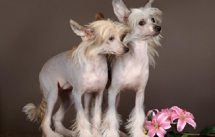 Самые красивые собаки в мире: китайская хохлатая