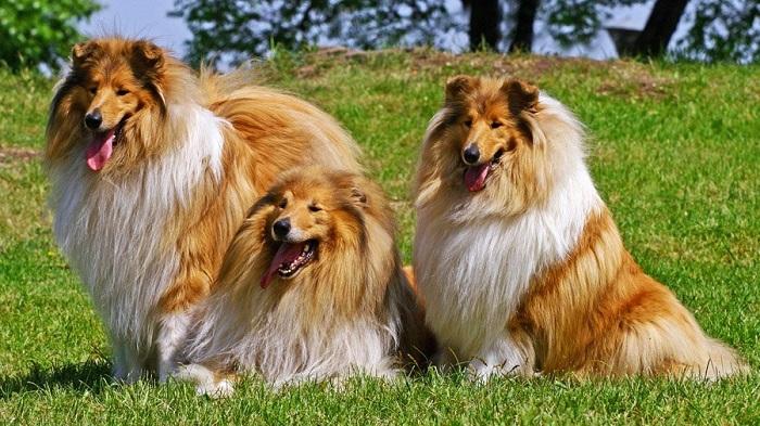 Самые красивые собаки в мире: коли (шотландская овчарка)
