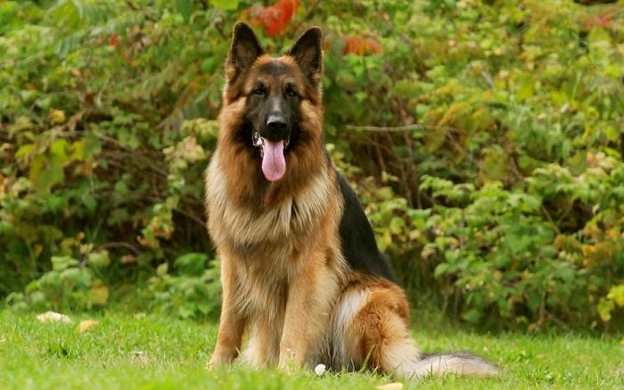 Самые красивые собаки в мире: немецкая овчарка