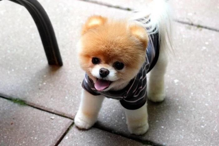 Померанский шпиц: самые красивые породы собак