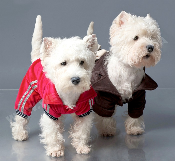 Вест хайленд уайт терьер: самые красивые собаки в мире