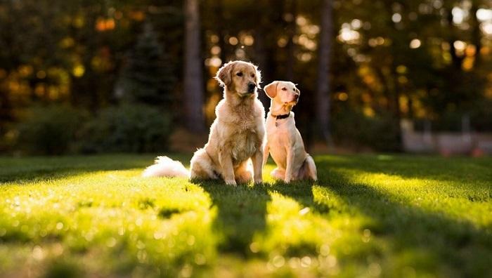 Самые красивые собаки в мире: золотистый ретривер