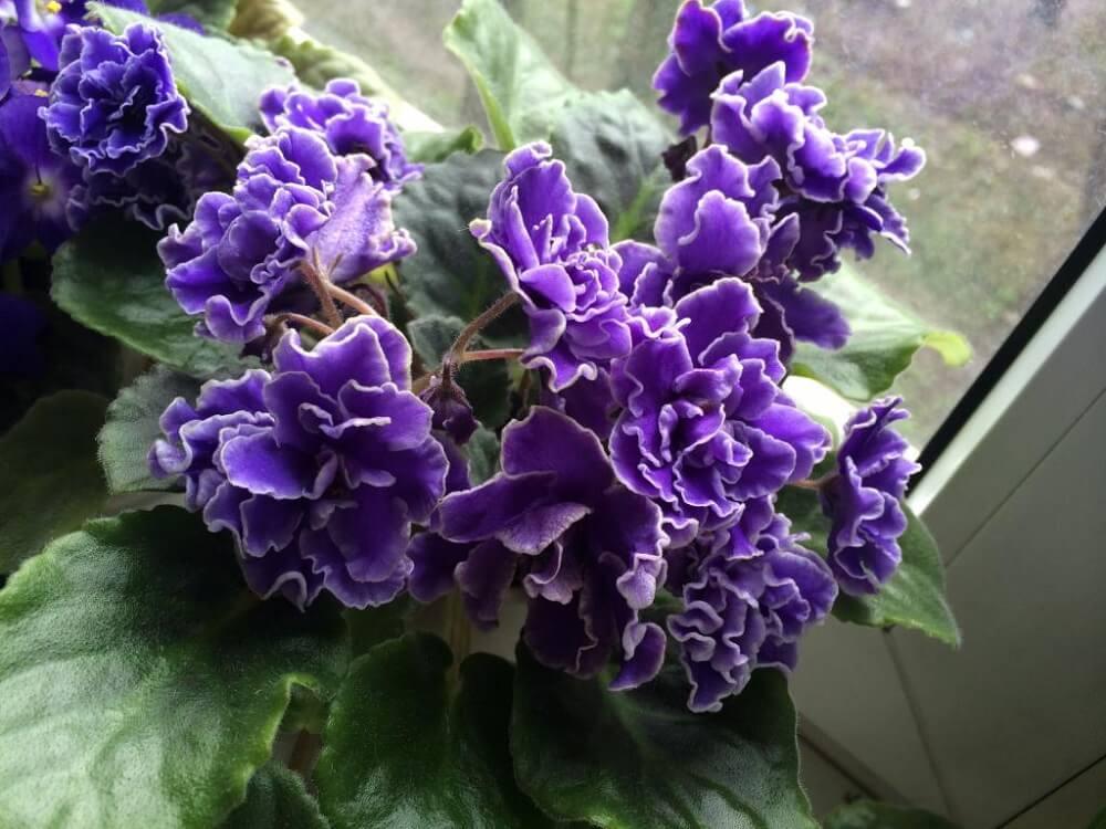 Махровая фиалка - фиолетовая